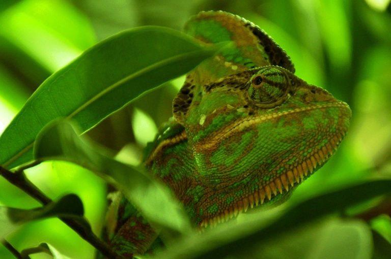 chameleon, reptile, animal-101106.jpg